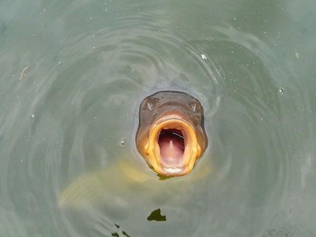 Рыба ждущая корм