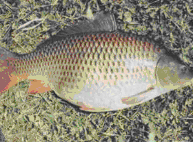 Scaly carp (common)