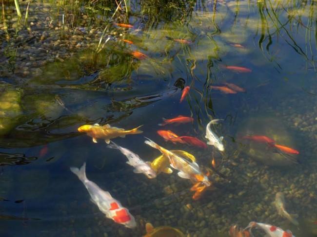 Заселенный рыбный пруд