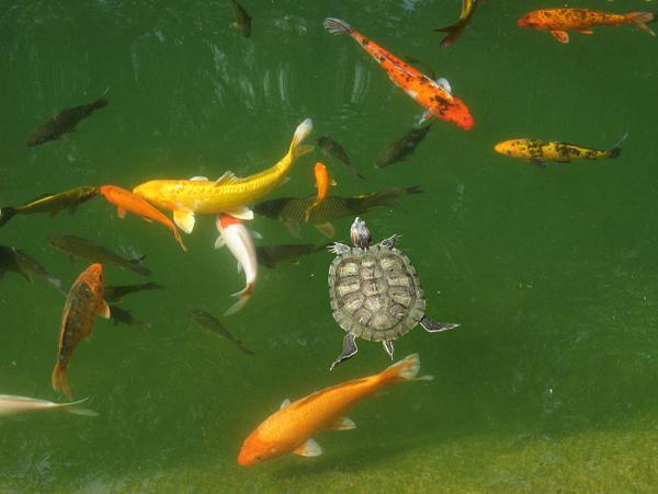 Обитатели рыбного пруда на даче
