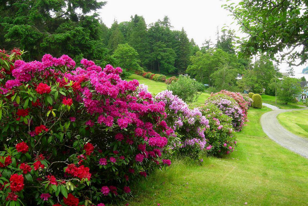На фото: размытые посадки рододендрона в саду.