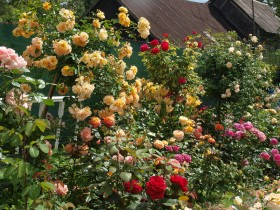 The rose garden at the summer cottage