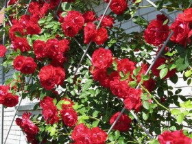 Trellis with red roses