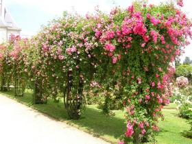 High rose garden, in the garden