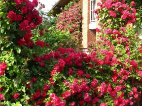 Cottage, decorated with roses