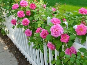 Garden fencing in rose