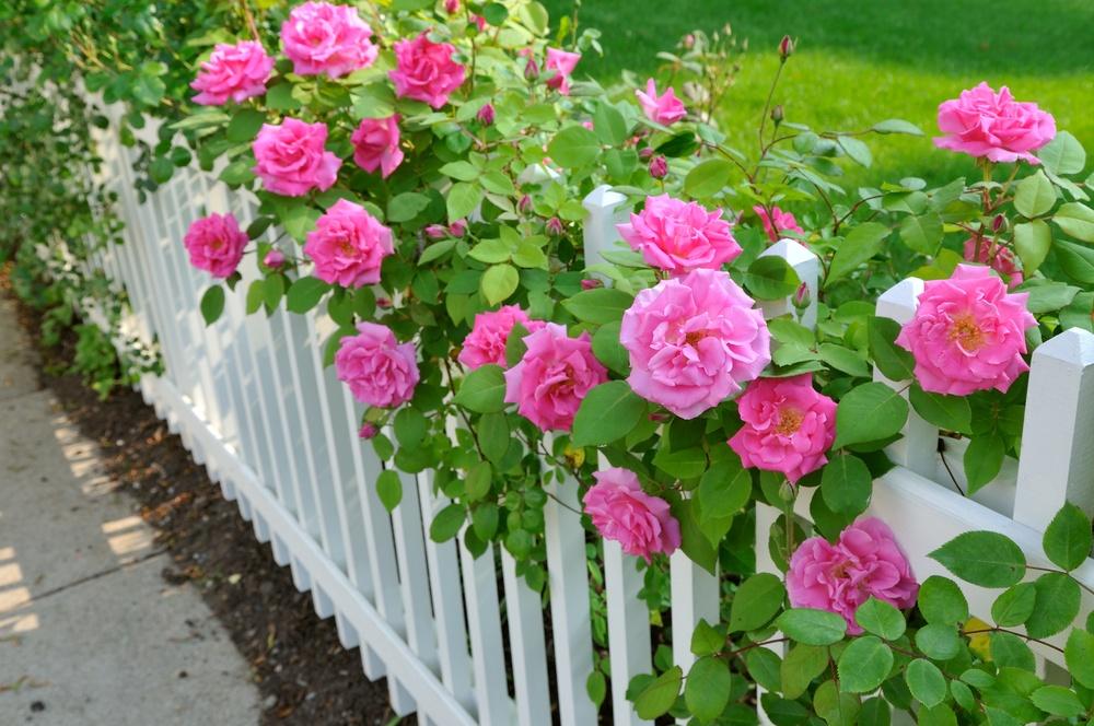 Как правильно посадить розы новичкам - Люблю свой сад 28