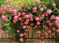 Fence-climbing roses