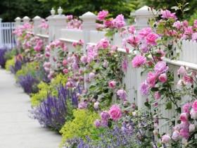 The rose garden along the garden fence