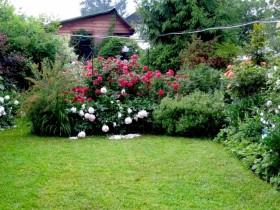 Small rose garden in the garden