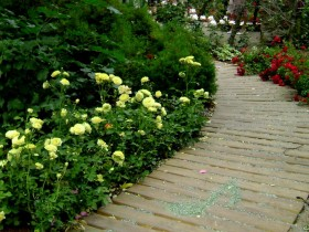 Bed of roses along garden path
