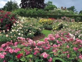 Beautiful English garden roses