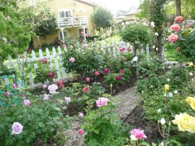 The rose garden at the dacha with his hands