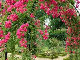 Garden arch in bright rose
