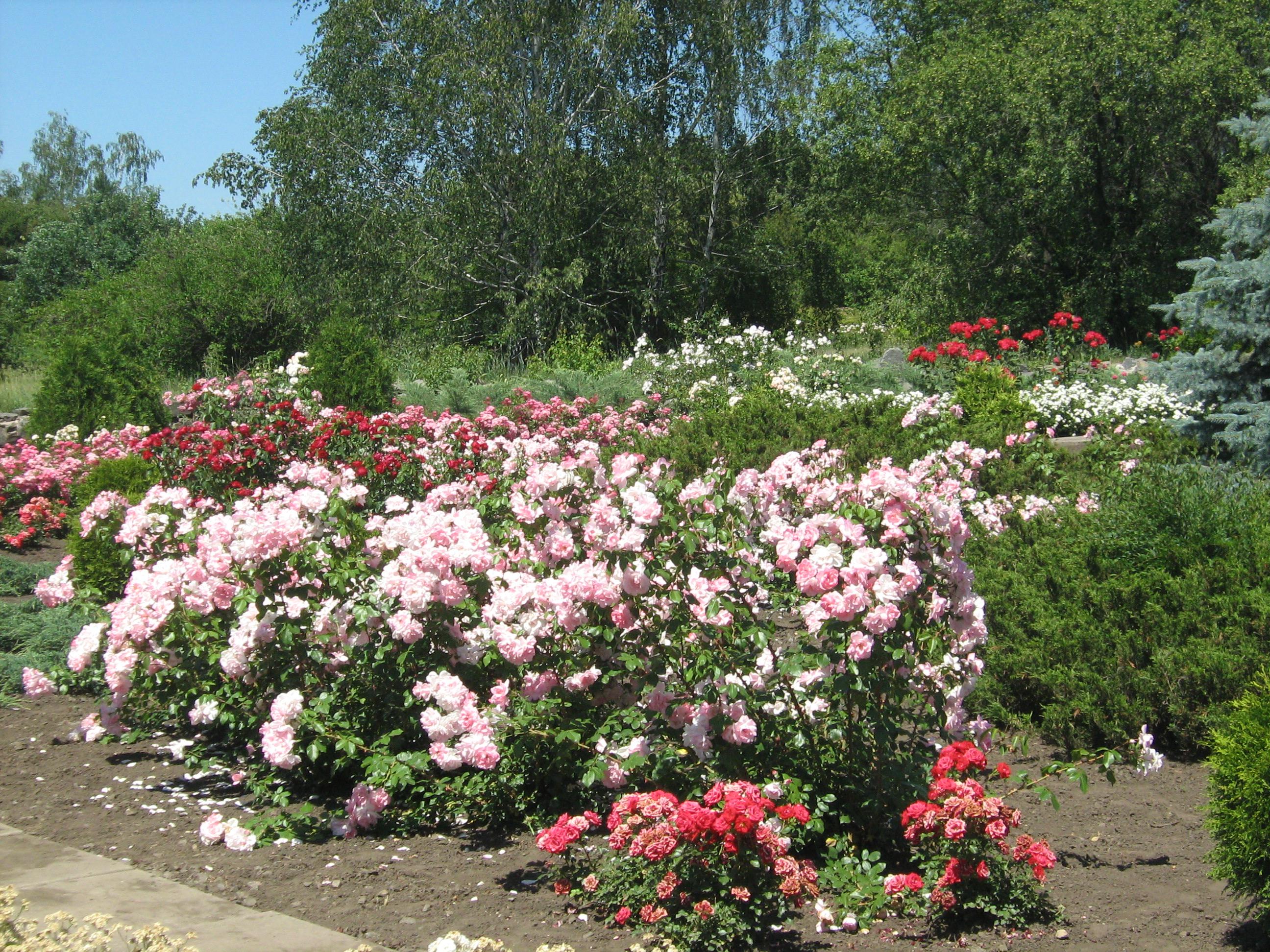 Клумба из роз своими руками - фото оформления розария на даче 24
