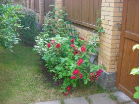 The rose garden at the entrance to the cottage