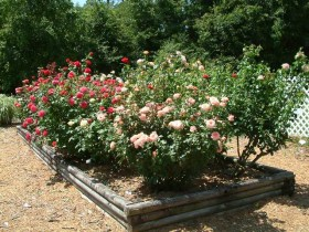 Flower beds with beautiful roses at the cottage
