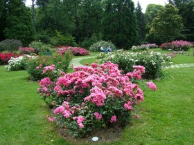 Rose bushes in the garden