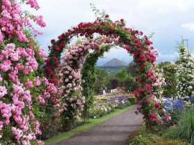 Arches of climbing roses