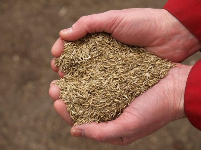 Семена посевного газона