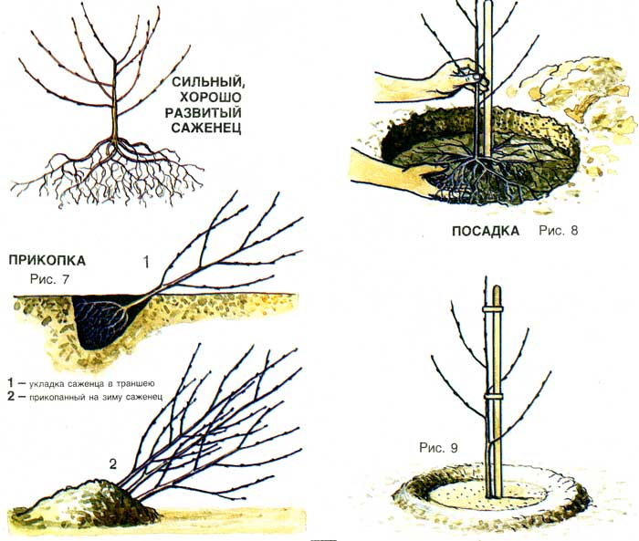 The scheme of planting of cherry.
