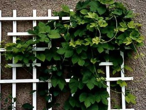 Design a homemade trellis for climbing plants in theory and photo examples