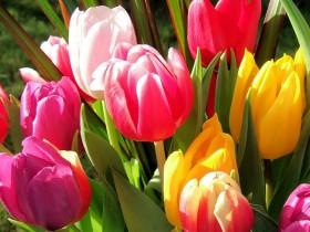 Цюльпаны