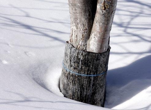 Пример защиты ствола дерева от грызунов