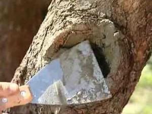 Лечим дупло дерева