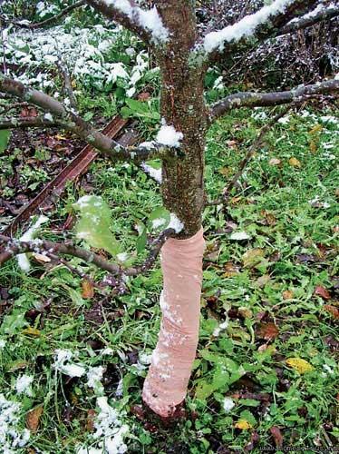 Обмотка ствола дерева для защиты от морозобоины