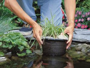 Когда сажать водные растения