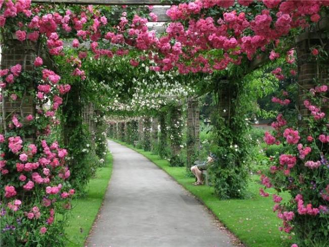 Плетистая роза как зеленый коридор