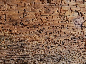 Damage of wood by insects