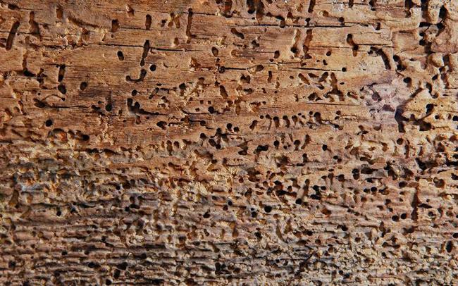 Гниение древесины под воздействием насекомых