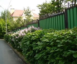 Пример не плотной живой изгороди на дачном участке