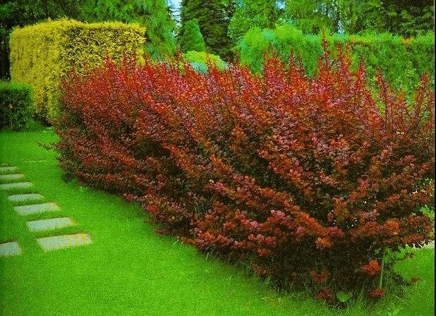 Живая изгородь из однородных кустарников