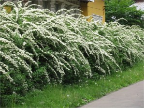 How to care for hedges, the choice of plants and 55 photo example + 3 video on pruning